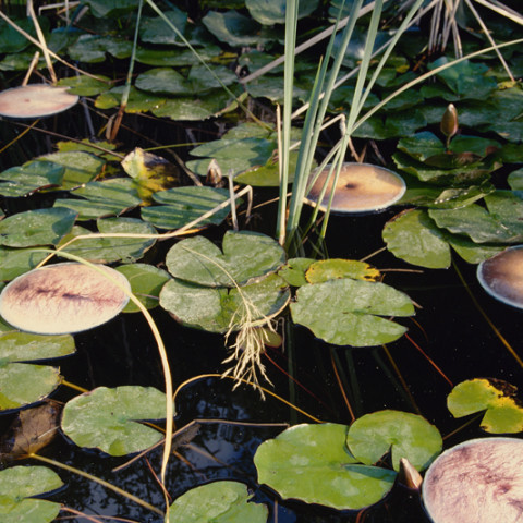 Sirene - Ninfe/Nymphes, 1997. Fotografie dell'installazione di foto di pance galleggianti tra due vetri, sull'acqua di una gebbia.